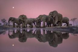 African elephants at twilight, Loxodonta africana, Chobe National Park, Botswana Mammal: Elephant ©Frans Lanting/www.lanting.com
