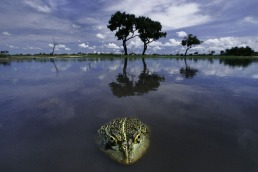 African bullfrog, Pyxicephalus adspersus, Chobe National Park, Botswana Amphibian: Frog ©Frans Lanting/www.lanting.com