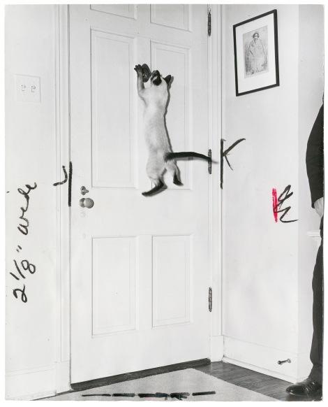 """Fotógrafo desconocido: """"De todos los gatos curiosos, uno de los más inquisores es Stormy Dawn"""", 1952, Gelatina de plata. © Bogomir Ecker."""