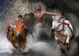 1st Prize Sports – Sports Action Single Wei Seng Chen, Malaysia. Carrera de toros Pacu Jawi, Indonesia 12 de febrero de 2012, Batu Sangkar, Sumatra Occidental, Indonesia. Un jinete, con los pies en harneses atados a los toros y agarrado de sus colas, muestra alivio y alegría al terminar una peligrosa carrera a través de arrozales La Pacu Jawi (carrera de toros) es una competición popular que se celebra al terminar la época de la cosecha,en la que distintos poblados se esfuerzan en competir.