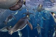 """1st Prize Nature Stories Paul Nicklen, Canadá, National Geographic magazine. """"Pingüinos Emperador, Mar de Ross"""" 18 de noviembre de 2011, Ross Sea, Antártida. A pesar de que han evolucionado una fisiología de burbuja increiblemente avanzada, el gran reto que enfrentan es la pérdida de hielo marino, que soporta a sus colonias y ecosistema. Las últimas investigaciones demuestran que los pingüinos emperador son capaces de triplicar su velocidad de navegación soltando millones de burbujas de sus plumas. Estas burbujas reducen la fricción entre las plumas y el mar helado, permitiéndoles acelerar. Alcanzan velocidades de hasta 30 km/h, con las que consiguen escapar de las focas leopardo y gracias a las cuales pueden saltar del agua al hielo."""