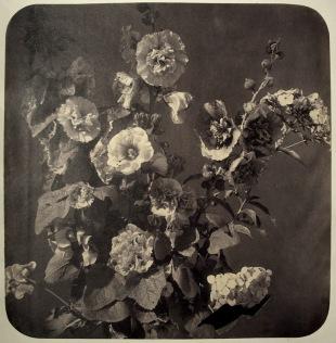 """Adolphe Braun. """"Ramo de malvarrosa (Etude de Fleurs)"""", hacia 1857. Copia sobre papel sensibilizado, satinado, virado al oro. Colección privada, cortesía de Hans P. Kraus Jr., Nueva York"""